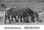 Three Zebras Eating Together I...