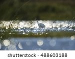 A Snowy Egret Stalks In The...