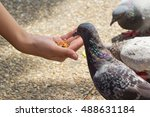 Feeding Pigeons From Hands