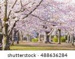 Sakura Cherry Blossom Tree At...