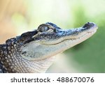 Closeup Of Young Alligator Wit...