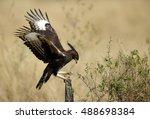 Long Crested Eagle Landing On ...
