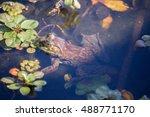 Small photo of American Bullfrog - Lithobates catesbeianus, camouflaged. Jordan Pond, Garin/Dry Creek Pioneer Regional Parks, East Bay, California, USA.