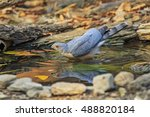 Small photo of Beautiful of the Hawk, Besra (Accipiter virgatus), Drinking water in real nature of Thailand