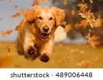Stock photo dog golden retriever jumping through autumn leaves in autumnal sunlight 489006448