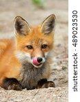 Red Fox Kit  Vulpes Vulpes ...
