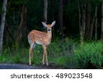 White Tailed Deer Fawn At The...