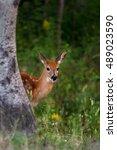 White Tailed Deer Fawn Peeking...