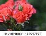 Stock photo pink fresh roses in a garden ukraine 489047914