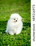 Beautiful Spitz Dog White Is...