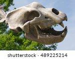 Cave Bear Skull Prehistoric