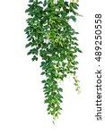 Wild climbing vine  cayratia...