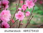 Peach Flowers In Garden In...