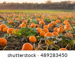 Beautiful Pumpkin Field In...
