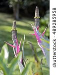 Small photo of SAO PAULO, SP, BRAZIL - SEPTEMBER 10, 2016 - Aechmea bromeliifolia, plant of the Bromeliaceae family, widely distributed from Mexico to Argentina