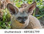 bat eared fox | Shutterstock . vector #489381799