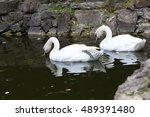 Two White Swan In A Pond Of Th...