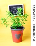 Small photo of Lemon verbena (Aloysia triphylla) in a pot. Yellow background