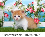 Adorable Long Haired Orange An...