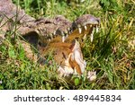 Small photo of African crocodile