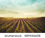 Vineyard Landscape. Autumn...