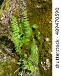 Juvenile Wood Horsetail ...