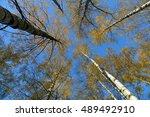 Yellow Autumn Birches Leaves...