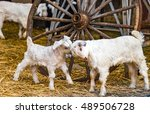 Two Young Goat Kids Next To A...