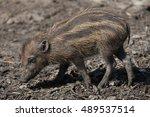 visayan warty pig  sus...   Shutterstock . vector #489537514