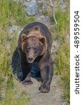 Small photo of American black bear , or a black bear (lat. Mammal of the family bears. Sometimes it is isolated in a separate genus It is the most common North American bear