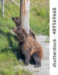 Small photo of American black bear, or a black bear. The most common North American bear