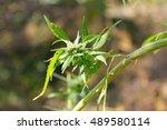 cannabis  marijuana  plant