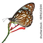 Small photo of Radena similis similis butterfly isolated on white background, also known as liuchiou blue spotted milkweed butterfly