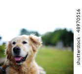 Stock photo isolated golden retriever lying down outside 48970516