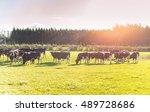 beautiful cattle farm during... | Shutterstock . vector #489728686