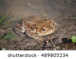 Small photo of Common midwife toad (Alytes obstetricans) in Germany