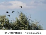 Four White Faced Ibis Flying...