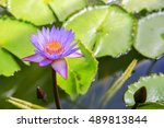 Purple Water Lilly In The Pond...