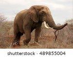 The African Bush Elephant ...