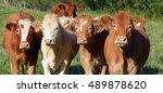 limousin cattle are a breed of... | Shutterstock . vector #489878620