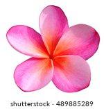 Pink plumeria clip art