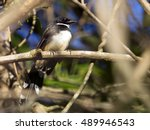 image of magpie perched on tree ... | Shutterstock . vector #489946543