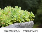 Small photo of Closeup image of sempervivum plant (Aeonium haworthii).
