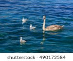Young Swans Swimming In Blue...