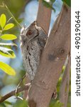 Small photo of african scops owl night bird kruger national park