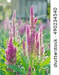 Small photo of Purple pink flower of Celosia, also known as cockscomb, Anise hyssop celosia, Agastache foeniculum or woolflowers, bloom in Africa, Mexico and even China as a perennial in gardens in summer