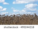 Withered Sunflowers In The...