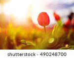 close up photo of red tulip... | Shutterstock . vector #490248700