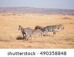 family of zebras in masai mara... | Shutterstock . vector #490358848