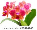 Twig Orchid Phalaenopsis Orang...